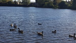 ducks-and-horsehay-pool-walking-in-shropshire-walking-and-wine