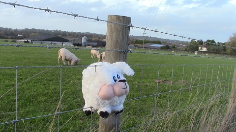 Walking in Shropshire - Sheep in fence - walking & wine