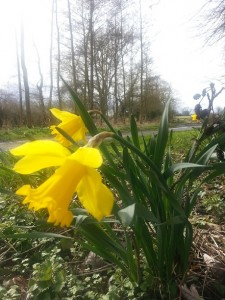 walking in shropshire - daffodils - walking & wine
