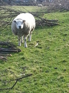 walking in shropshire - live sheep - albrighton - walking & wine