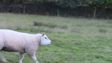 walking in shropshire - wilderhope bruiser sheep - walking & wine